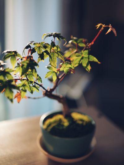 Close-up of bonsai