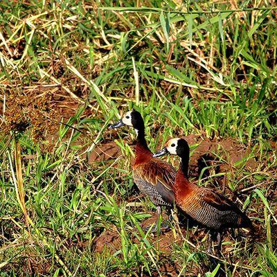 White faced whistling Duck Natureaddict Animalsaddict Wildlife Krugernationalpark Igersmp @Animals Africa Africanamazing