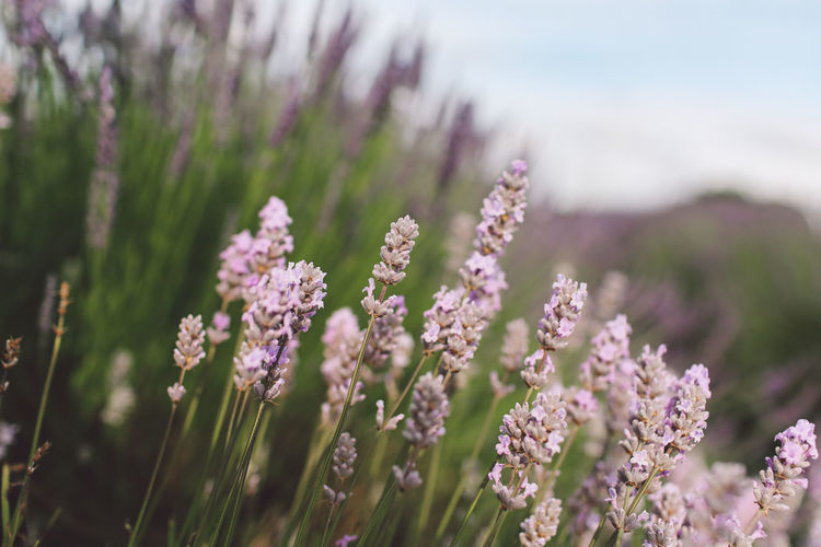 Beauty In Nature Blooming Close-up Day Flower Focus On Foreground Fragility Freshness Growing Growth In Bloom Lavanda Lavander Lavander Flowers Lavanderfields Nature No People Outdoors Petal Pink Color Plant Purple Selective Focus Stem Tranquility