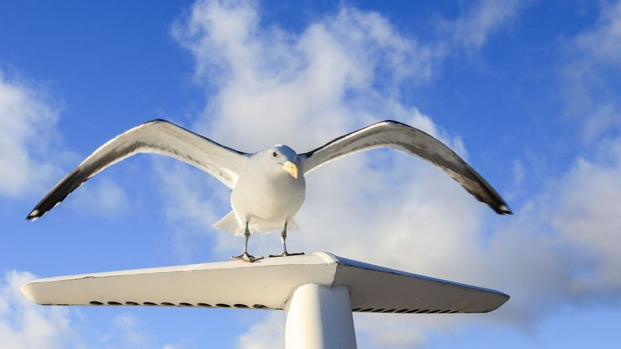 Seagull Animal Themes Sky Spread Wings Animal Wildlife Bird One Animal