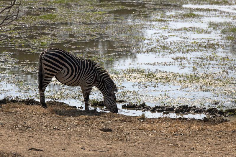 Side view of zebra drinking water