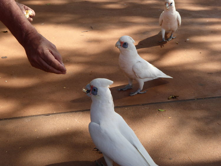 Animal Themes Australian Birds Birds Corella Cockatoos Hand Feeding