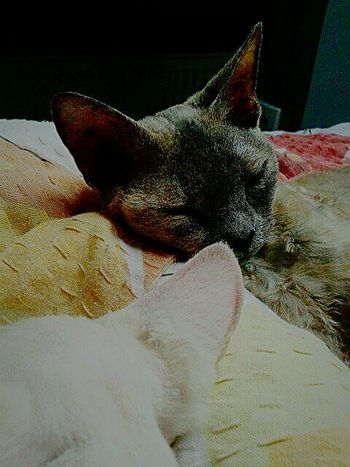 Cats Poland Bedroom B&w Animals