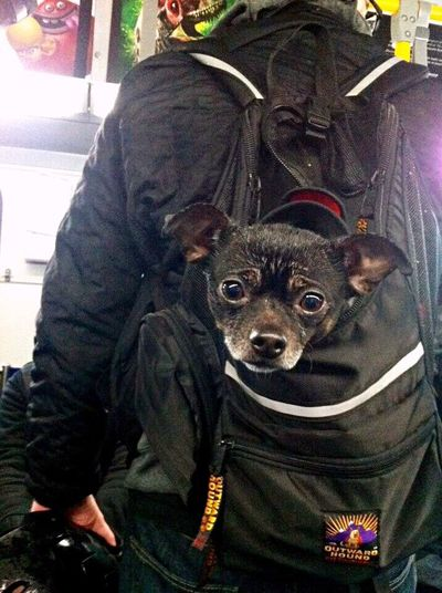 🐶 Hello from a Backpack In The Bus Vancouver Vancouver BC Vancity British Columbia Canada Lovely Dog Bus EyeEm Animal Lover Trip Dog Love IPhone Photography Cute Cute Dog  カナダ Lovely Dog Cute Eyes Say Hello 犬 Animal Antenna Dogs Of EyeEm バンクーバー