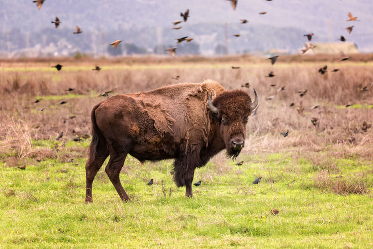Birds flying over american bison on field
