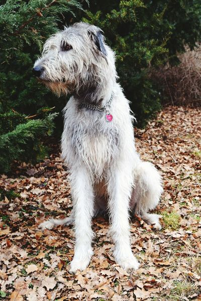 Dog Pets Animal Themes Domestic Animals Tree Outdoors Day Nature Bokeh Dogs Of EyeEm Irish Wolfhound Cearnaigh Dogslife Dogs Of Winter February 2017 Winter 2017 How's The Weather Today? Animals In The Wild Tree Cold Temperature Take A Walk Close-up