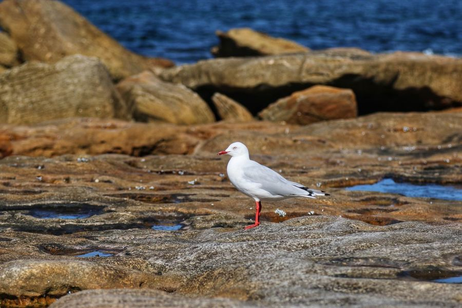Birds are commonly seen at the beach. Bird Animals In The Wild One Animal Animal Themes Animal Wildlife Seagull Nature Beauty In Nature No People Outdoors Day Sea Bird Water Perching Sea
