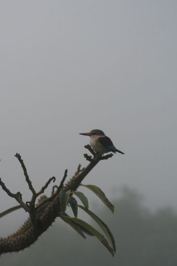 Animal Themes Animals In The Wild Bird Branch Brownhooded Clear Sky Kingfisher Low Angle View Nature One Animal Outdoors Perching Sky