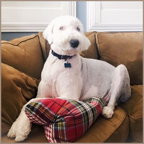 EyeEm Selects Dog Pets One Animal Domestic Animals Animal Themes Sofa Mammal Sitting Pet Collar Home Interior Looking At Camera Portrait Indoors  Day No People Weimaraner Old English Sheepdogs