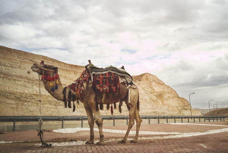 Side view of camel standing against sky