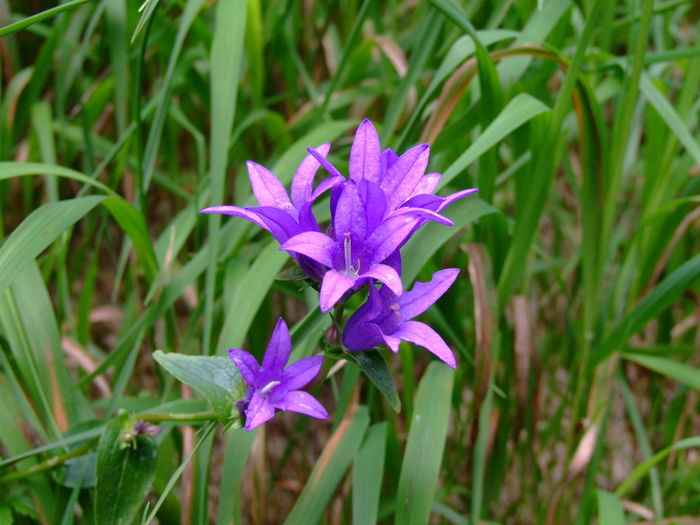 Harangvirág/bell flower Beauty In Nature Bell Flower Close-up Flower Flower Head Flowering Plant Focus On Foreground Fragility Freshness Growth Leaf Nature No People Plant Plant Part Purple Summer