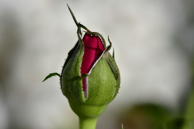 Close-up of red rose bud