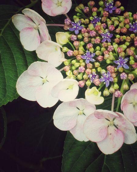 ピンク色がなんか中途半端なガクアジサイ。中心の花の方が色とりどりで可愛い IPhoneography Plants Flower EyeEm Flower Flowerporn