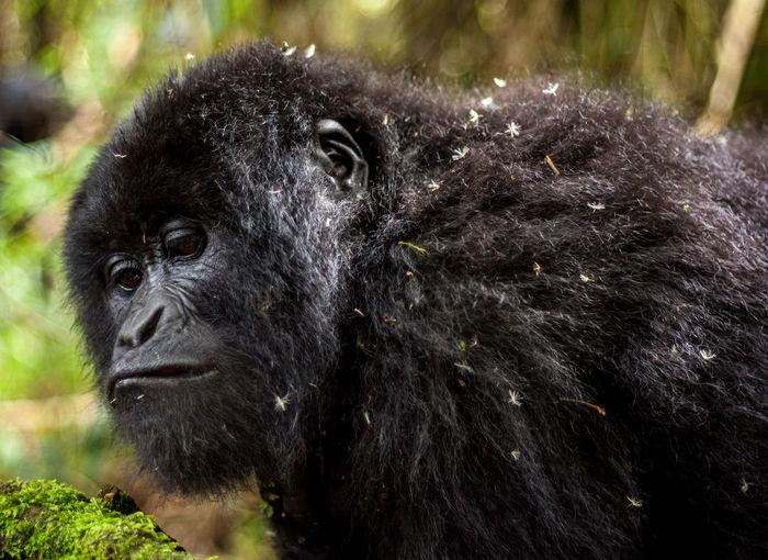 Gorilla trek in Mgahinga national park Africa African Animals Animals Animals In The Wild Beauty In Nature Bwindi Closeup Day Forest Gorilla Gorilla Trek Mgahinga Mountain Gorilla National Park Primates Uganda  Vines