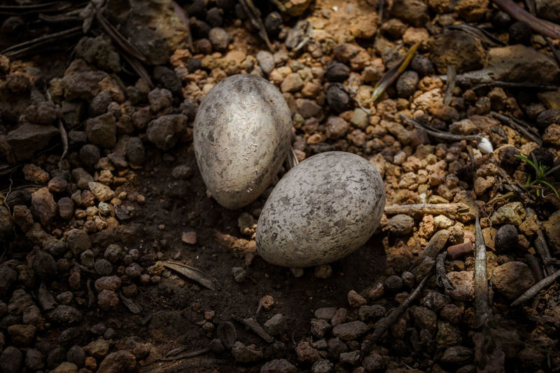 Two eggs of a Eurasian Stone Curlew or Thick Knee placed on the ground of a field. Specie of the Burhinidae bird family. Chicks Family Field Mother Stone Curlew Alcaravan Animal Bird Day Dirt Eurasian Field Indoors  Land Nature Nest No People Ornithology  Outdoors Rock Solid Spaın Specie Stone Wildlife