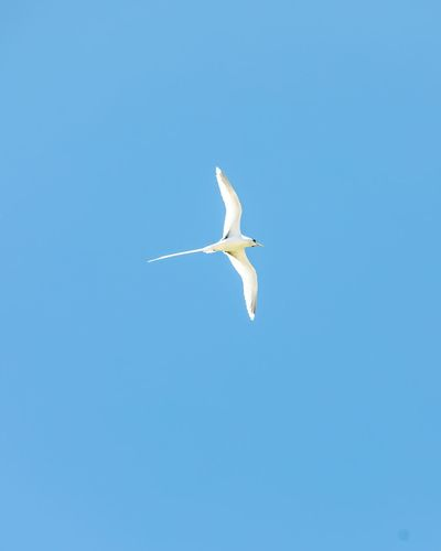 White tailed TropicBird. Animal Animal Themes One Animal Bird Vertebrate Animal Wildlife Blue Flying Animals In The Wild Low Angle View No People Sky Copy Space Spread Wings Clear Sky Nature Beauty In Nature Mid-air Day Seagull