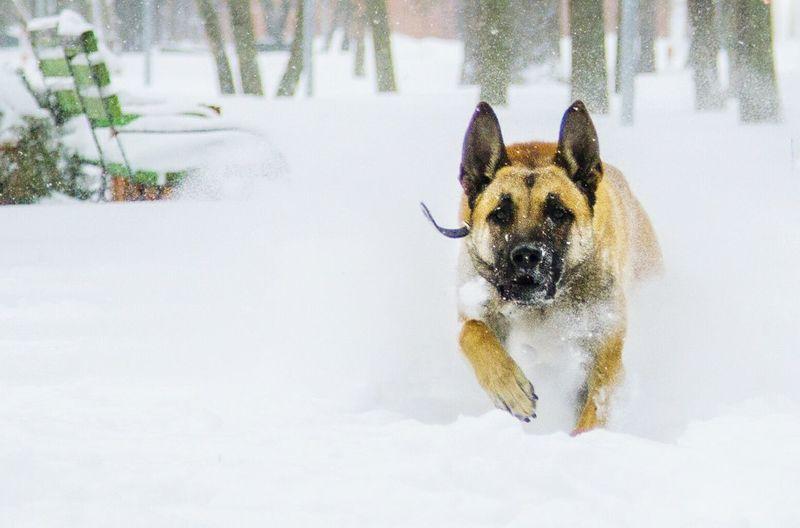 Hi! Enjoying Life Nature Animal Representation Outdoors Dog Belgium Shepherd Mammals Winter Snow ❄ Snow Day That's Me
