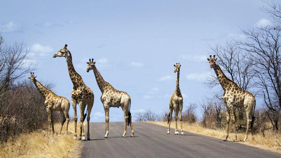 Giraffes standing on road