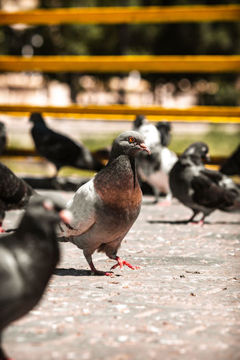 Close-up of pigeons perching on footpath