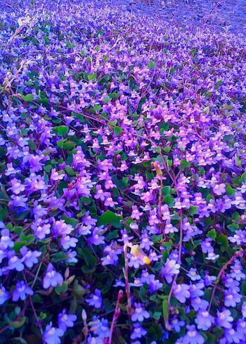 1000 S Very Tiny Beautiful Purple Flowers Dutch Landscape Dutch Dreamscapes Nature Purple Haze