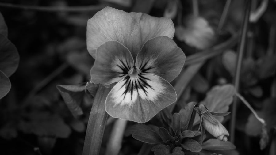 Pansy Monochrome, Faversham, Kent. Check This Out Atmosphere Kent Tones Close-up Details Flower Head Petal Depth Of Field Summer Nature Hello World