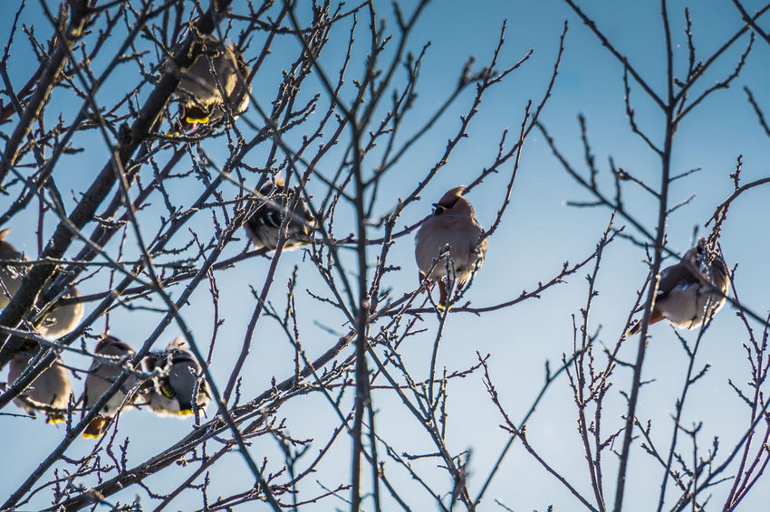 Wintertime Animal Animal Themes Animal Wildlife Animals In The Wild Bare Tree Bird Branch Day Focus On Foreground Group Of Animals Low Angle View Nature No People Outdoors Perching Plant Sky Tree Two Animals Vertebrate Waxwing Waxwings
