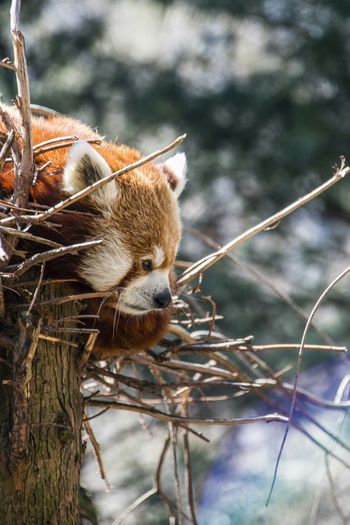 Close-up side view of a red panda against blurred background