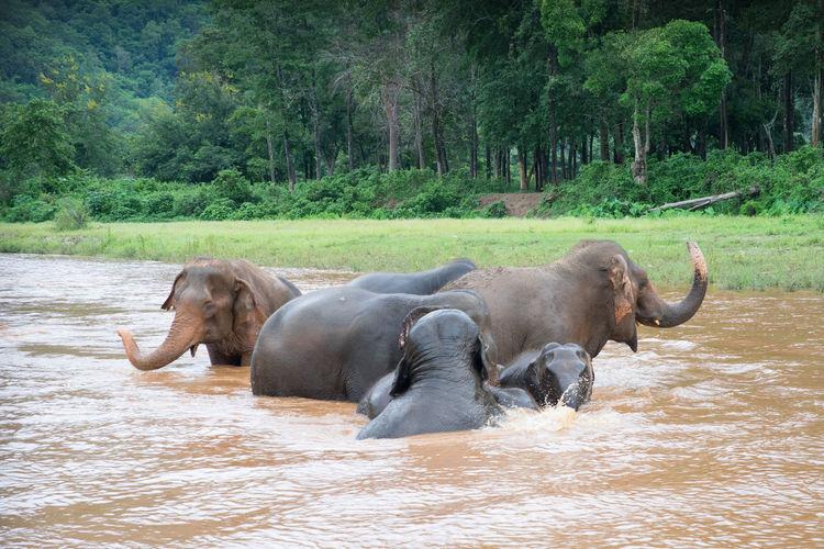 Elephants in water by trees