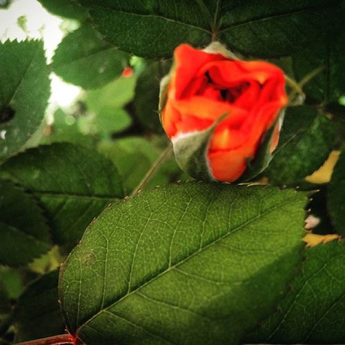 La prima rosa 😍 TheFirst Theroses One Orange Inmygarden