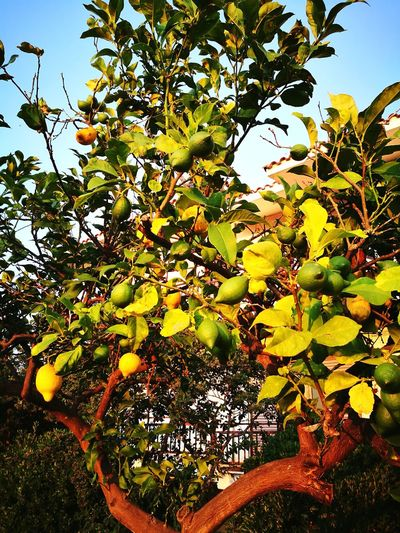 Growth Tree Nature Fruit Leaf Outdoors Freshness Day Green Color Plant Yellow Lemon Lemontree Kyllini Greece