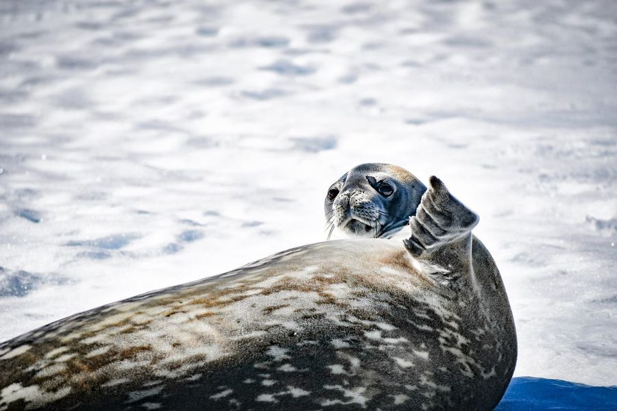 What the heck do you want from me?! Fur Antarctic Summer Sunny Winter Day Snow WTF Weddell Seal Wildlife Seal Wildlife Of Antarctica Wildlife & Nature Antarctica Animals In The Wild Animal Wildlife Animal Themes One Animal Animal Sky Animal Head  Vertebrate Nature Marine Sea Life Mammal Close-up