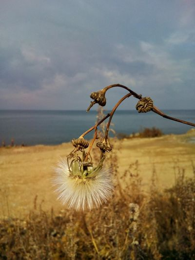 Plant Flower Head Close-up Nature Flower Outdoors Day Sea Beach No People Sky Autumn October Dry Stem Sonchus Sow Thistle