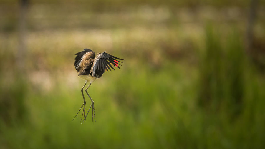 Bird flying in mid-air over field