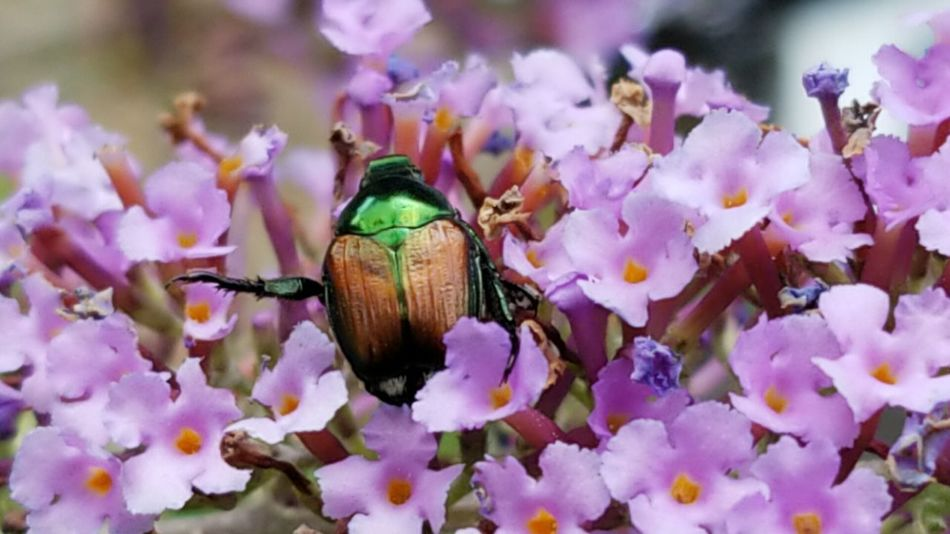 Damn Japanese Beetles Butterfly Bush Japanese Beetle Do Not Eat Backyard Photography Beauty In Nature Backyard Garden Flower Head Flower Insect Pollination Petal Purple Close-up Animal Themes Plant In Bloom Blossom Symbiotic Relationship Blooming