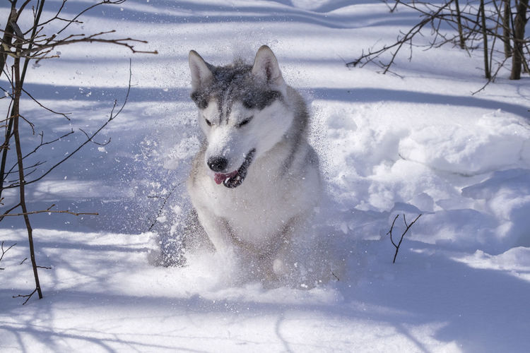 Siberian Husky jumping out of a snowdrift Animal Themes Beauty In Nature Cold Temperature Day Dog Domestic Animals Mammal Motion Nature No People One Animal Outdoors Pets Siberian Husky Sky Snow Winter