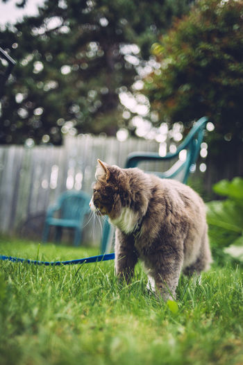 Cat on grass in back yard