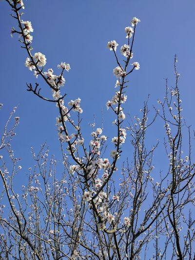 EyeEmNewHere Springtime Blossom Nature Beauty In Nature Almond Tree Flower No People Day Sky Freshness Outdoors Clear Sky Tree Branch Low Angle View Close-up Homesweethome Homesweethome ♥ First Eyeem Photo EyeEmNewHere EyeEmNewHere