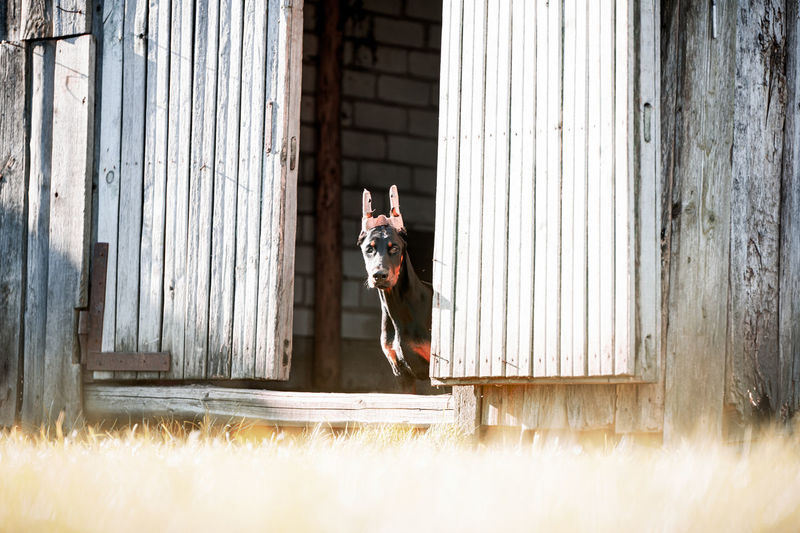 Dog looking out of built structure