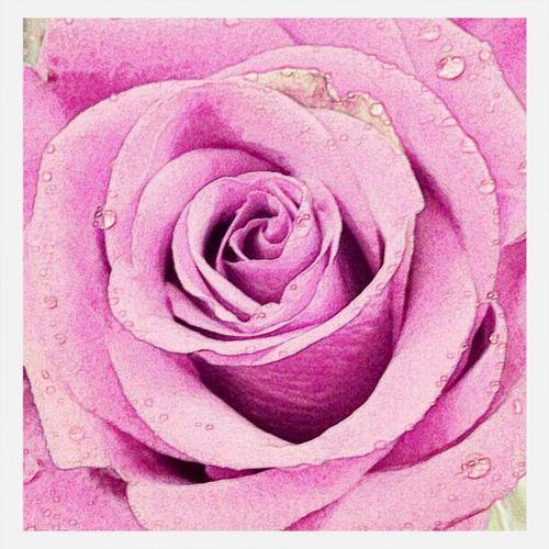 Flower Roses Pink
