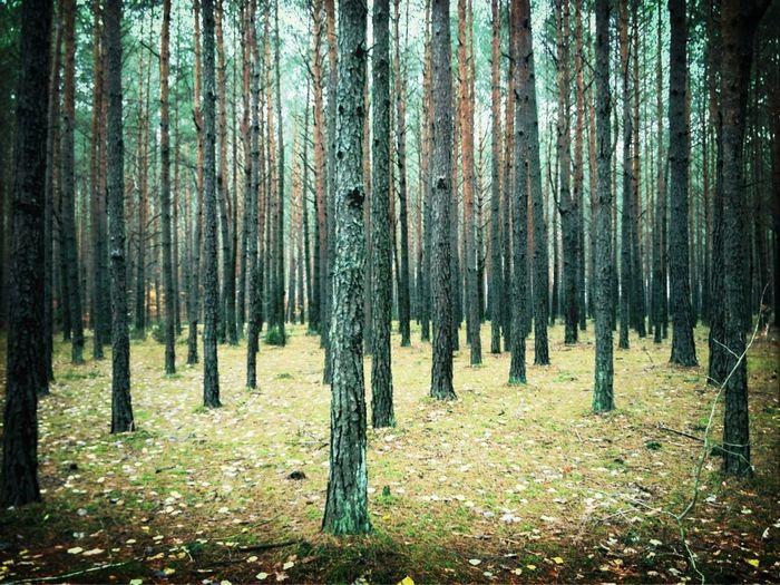 יער פולני