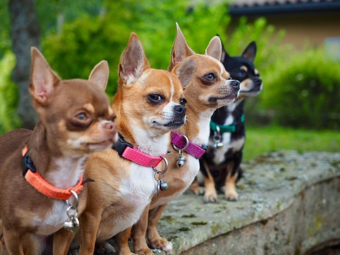 Chihuahuas in row on wall