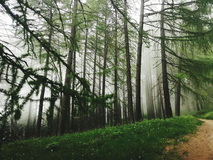 Magic woodlands WoodLand Forest Fog Tree Trunk Branch Grass Sky Landscape Green Color Pine Woodland Pine Tree Evergreen Tree Growing