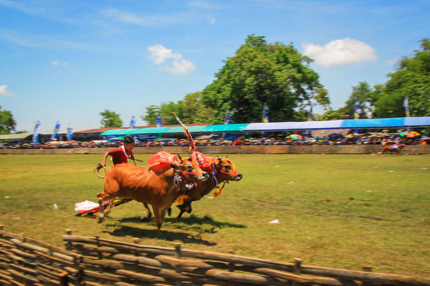 Bull Racing Traditional Racing Competition Bull Racing Karapan Sapi Traditional Racing Madura Island Culture Madura Traditional Culture Indonesia Culture Culture And Tradition Heritage Cultural Heritage Traditional Cultures Live For The Story