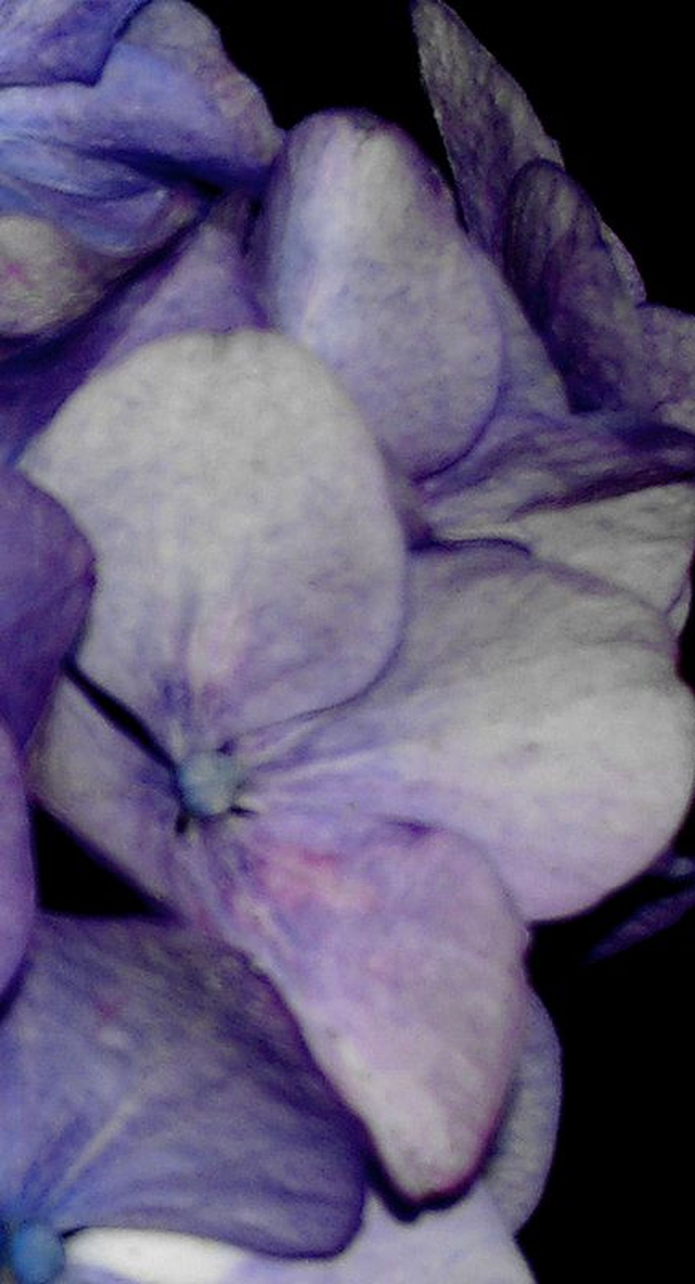 petal, close-up, flower, fragility, full frame, purple, flower head, nature, indoors, backgrounds, white color, beauty in nature, softness, no people, selective focus, high angle view, white, day, detail