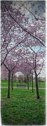 Unterwegs in den Gärten Der Welt Springtime Cherryblossom Kirschblüten  Vanishingpoint PrettyInPink