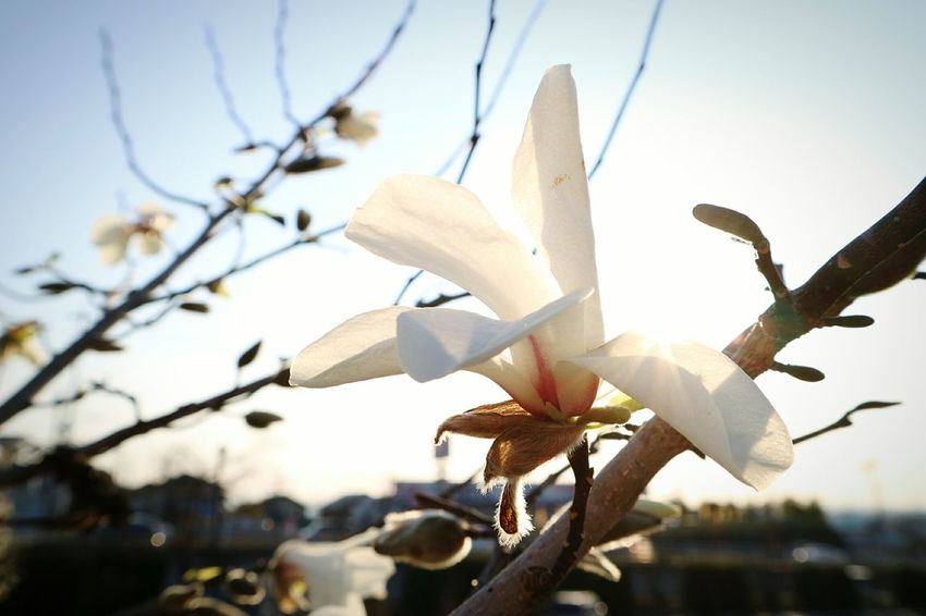 Sunlight Close-up No People Beauty In Nature Nature Tree Branch Sky Outdoors Japan Beauty In Nature Tree Fragility Sunlight Flower Plant Fleur White