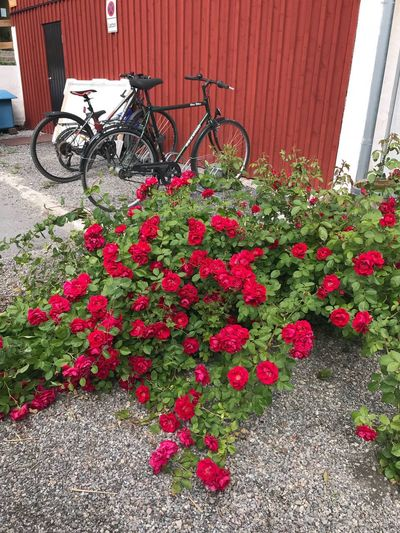 Red roses and black bikes Cafe Time Summer Views Roses🌹 The Week on EyeEm Flower Plant Flowering Plant Bicycle Growth Red Transportation Land Vehicle Day Mode Of Transportation Outdoors Freshness No People