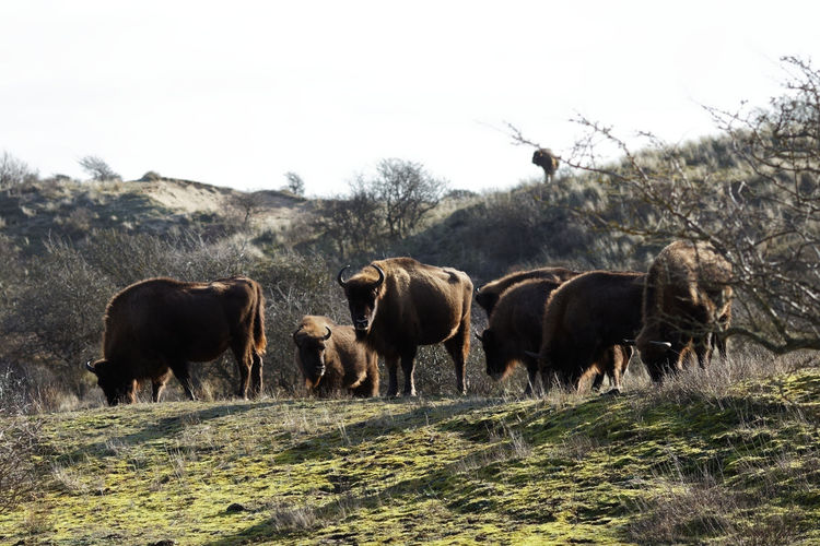 Wisent in a field