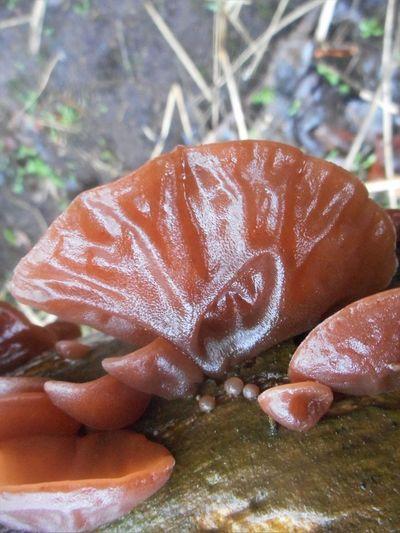 Daytime Freshness Growing Nature Close-up Fungi Fungi On A Log Jelly Ear Fungi Jews Ear Fungi Outdoors