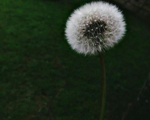 Flower Dandelion Fragility Nature Freshness Plant Growth